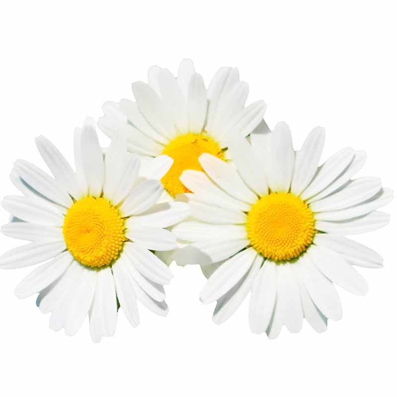 Chamomile Extract | Chamomilla Recutita Extract | Skin Care Key Ingredient