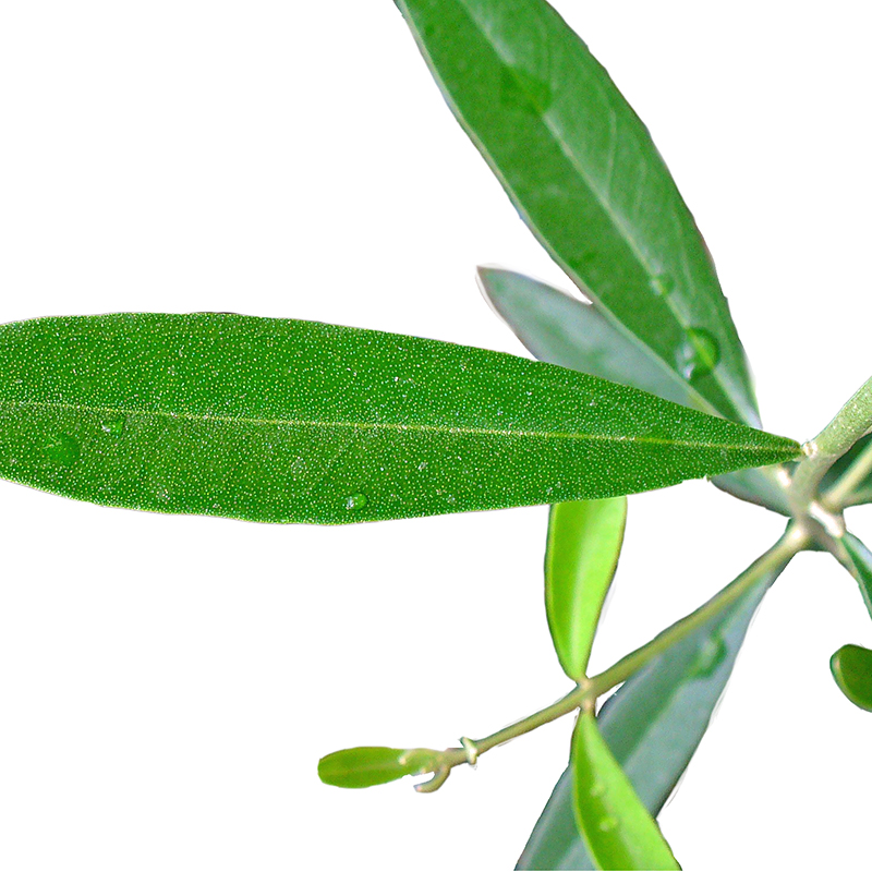 Olive Leaf Extract | Olea Europaea Leaf Extract | Skin Care Key Ingredient